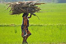 Photo of woman carrying bundle in rice paddy