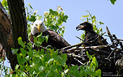 Bald eagles in nest by Dara Carleton
