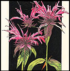 Beebalm by Sarah Rice