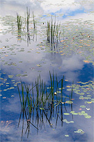 Photo of waterlilies and reeds by Gene Parulis