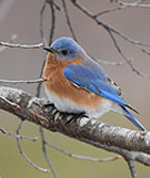 Eastern Bluebird by David Y. Parker Jr.